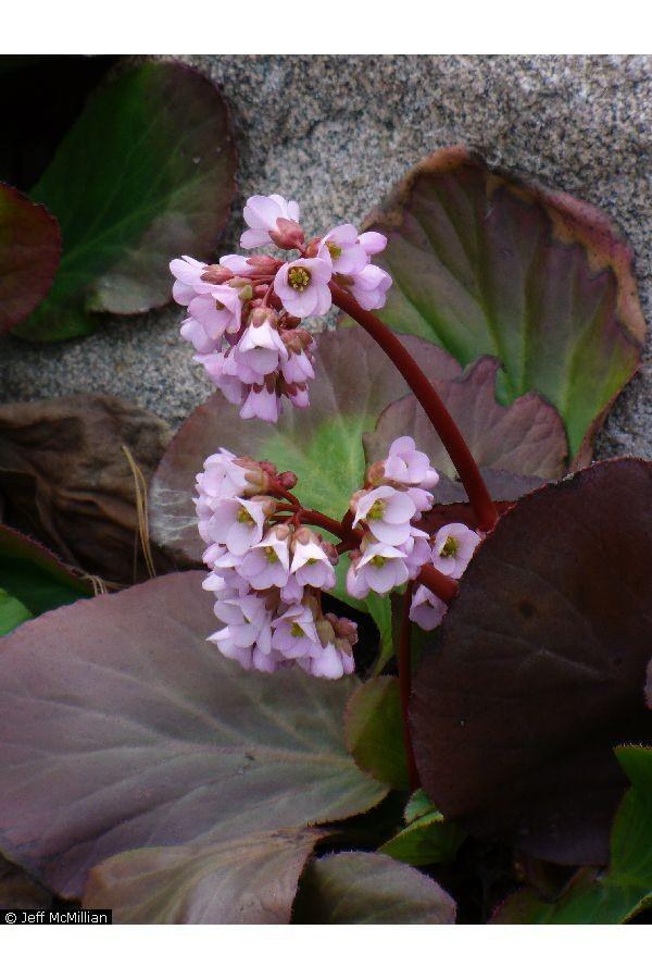 Hortensia de invierno (Bergenia crassifolia): Cultivo, riego y cuidados