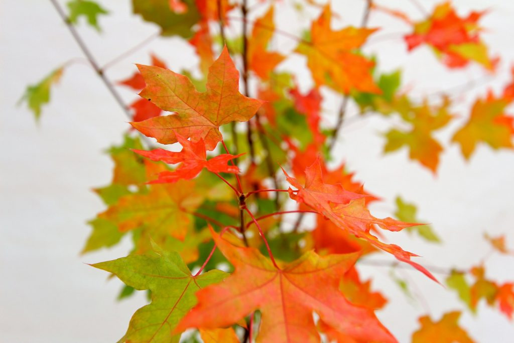 hojas-arce-azucarero