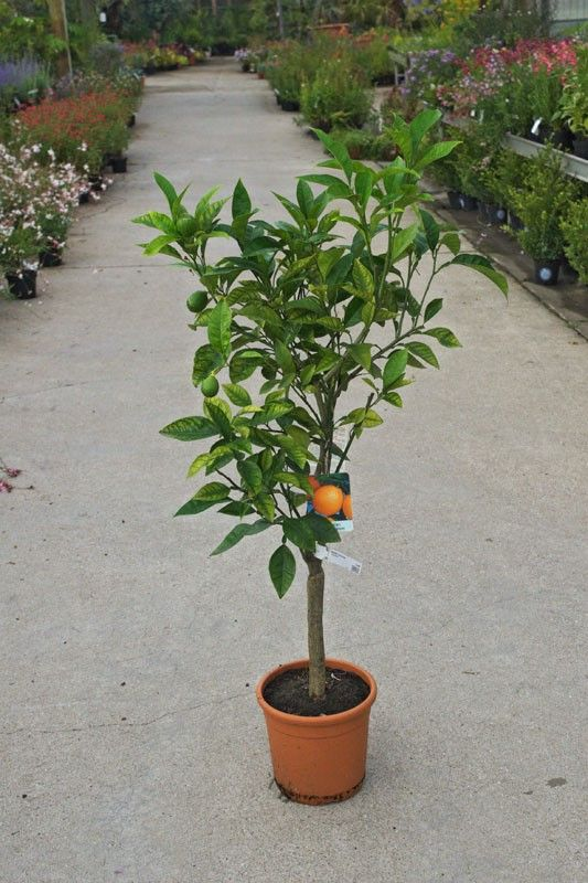 Como cultivar naranjo dulce (Citrus sinensis) en maceta