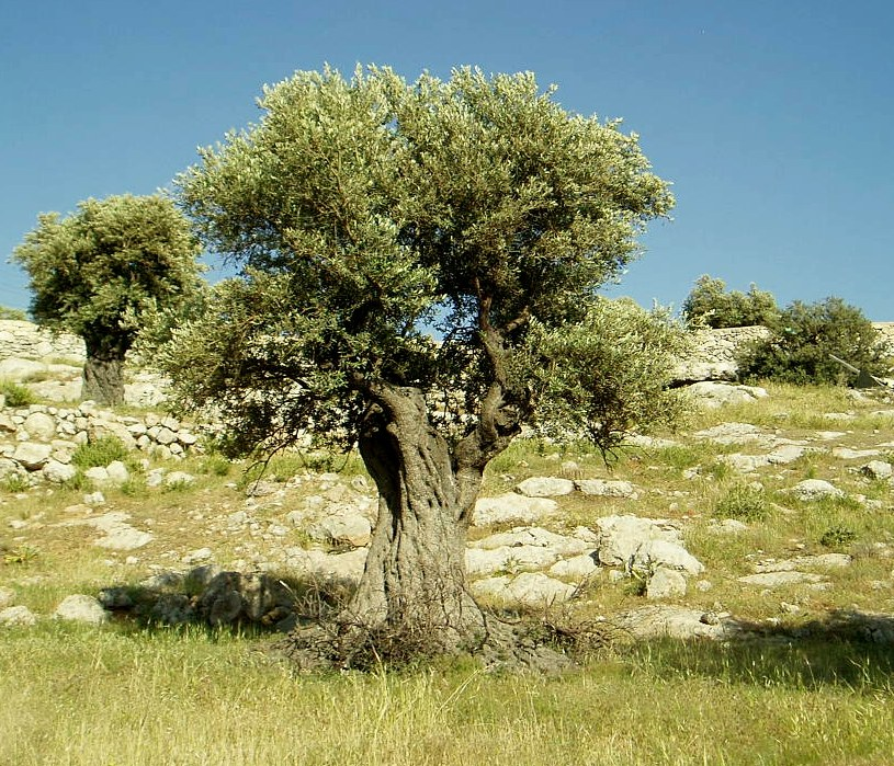 Olivo (Olea europaea): Características generales y requerimientos de suelo