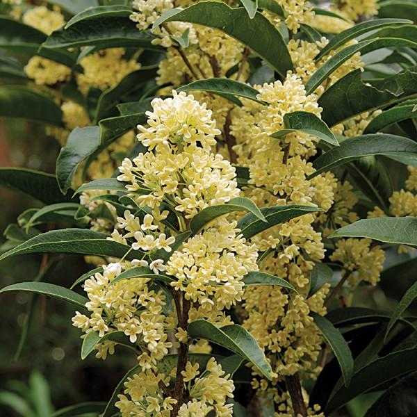 Osmanto dulce (Osmanthus fragrans): Características y cultivo
