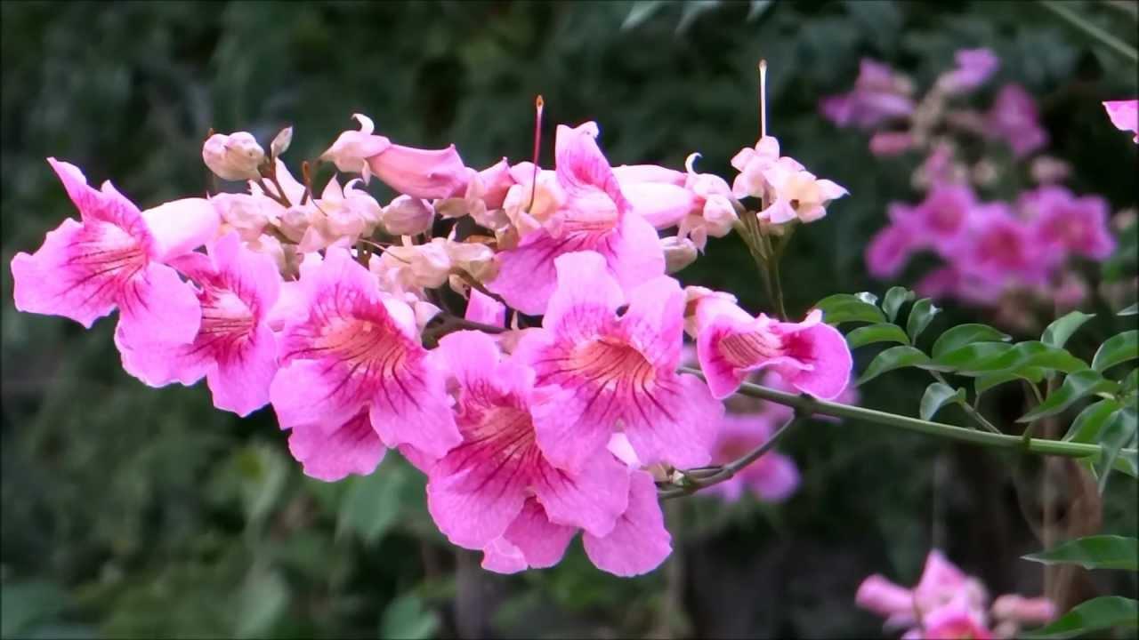 Enredaderas con flores: La Podranea ricasoliana
