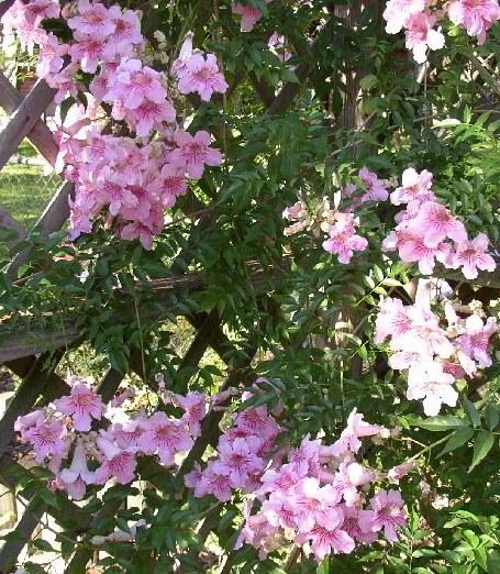 Enredaderas con flores la podranea ricasoliana plantas flor de planta flor de planta - Plantas enredaderas de crecimiento rapido ...