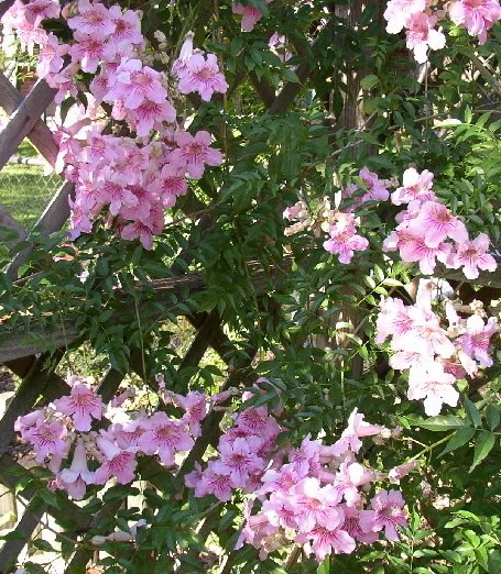 enredaderas con flores la podranea ricasoliana plantas