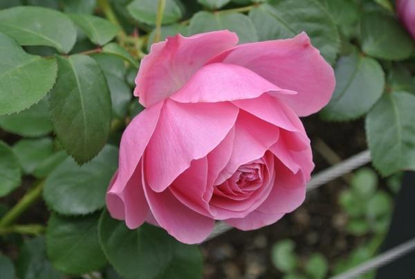 Cuáles son las mejores condiciones de suelo para el cultivo de rosas