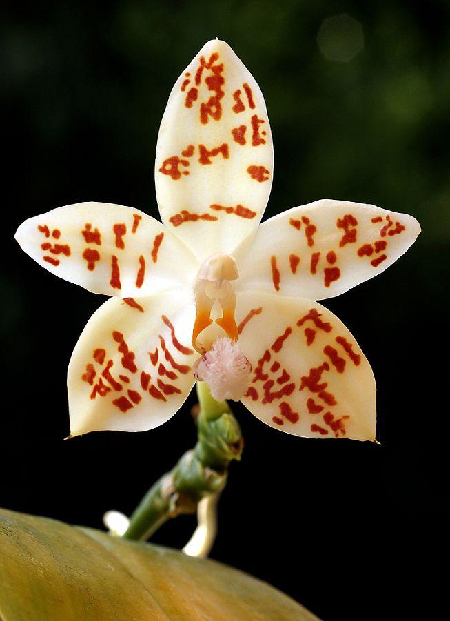 Especies de orquídeas: La Phalaenopsis hieroglyphica