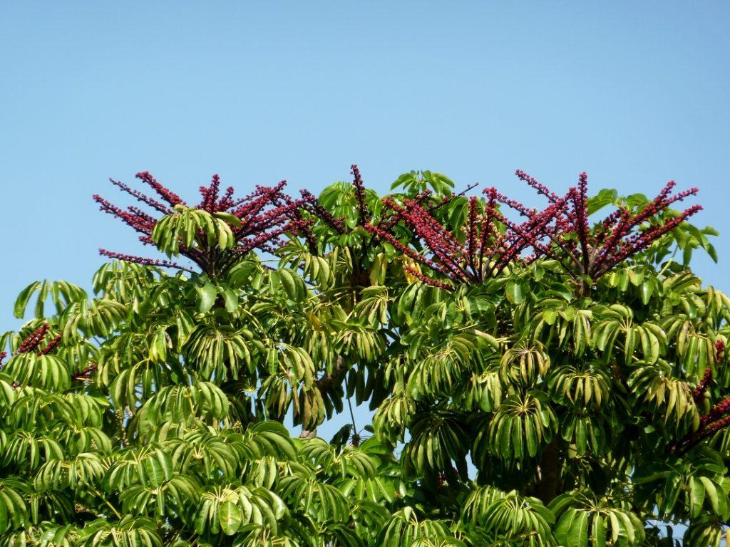 brassaia-actinophylla