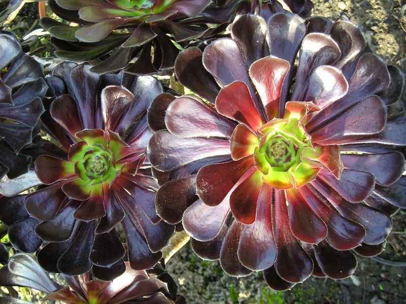 Plantas suculentas: Características y cultivo de la Aeonium arboreum