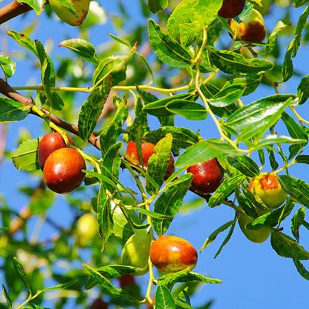 Azofaifo (Ziziphus jujuba): Características y cultivo