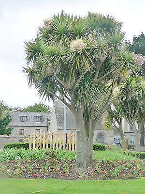 Árboles ornamentales: El cordiline (Cordyline australis)