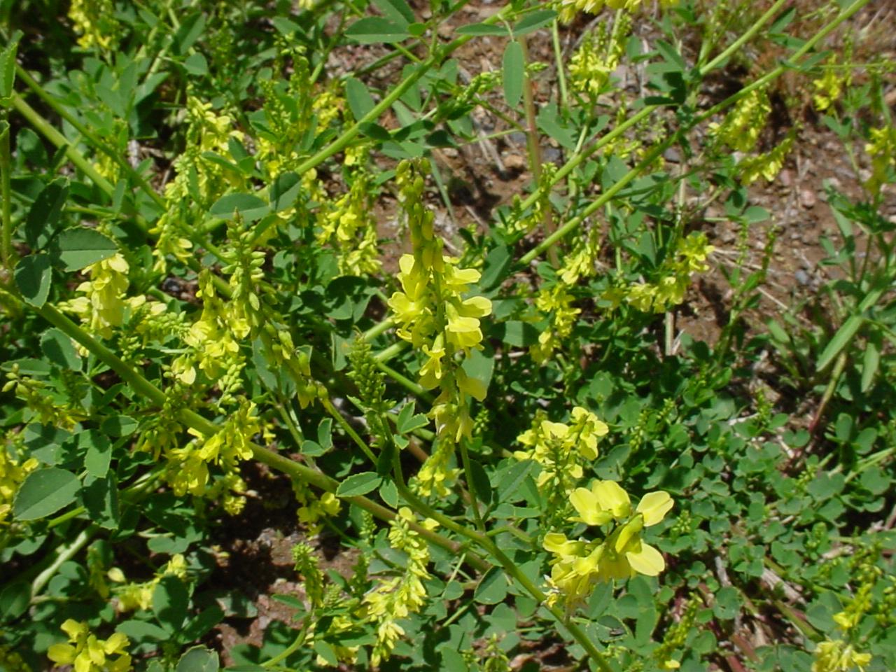 Plantas medicinales: El meliloto (Melilotus officinalis)