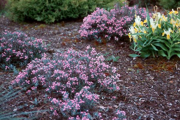 Andrómeda de pantano (Andromeda polifolia): Cultivo, suelo y cuidados