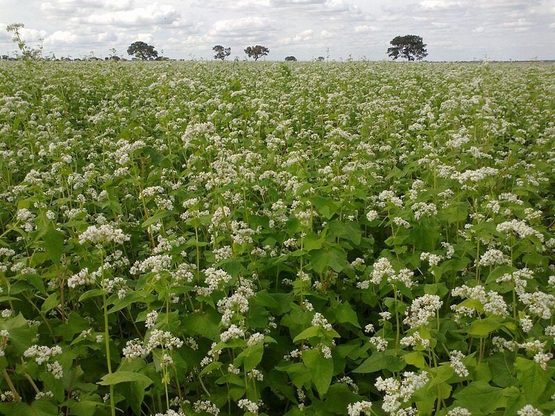 Trigo sarraceno (Fagopyrum esculentum): Características y cultivo