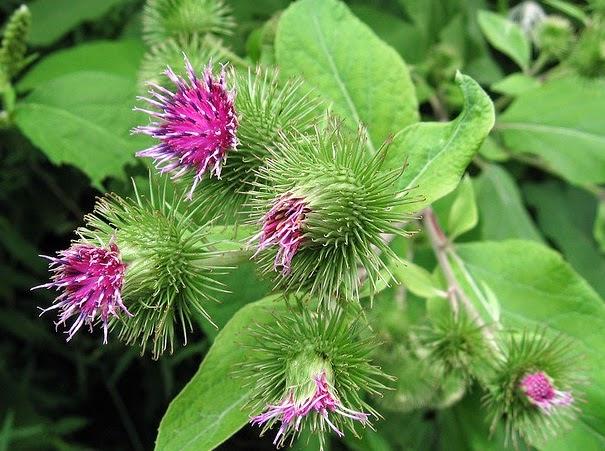 Bardana (Arctium lappa): Características y cultivo