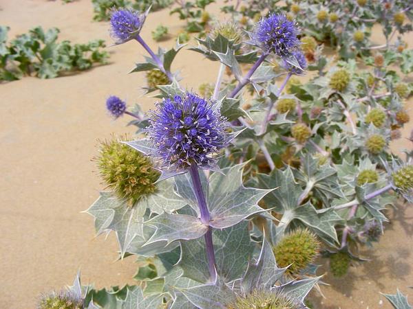 Cardo de mar (Eryngium maritimum), una planta ideal para cultivar a pleno sol
