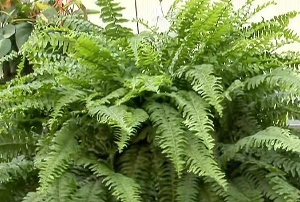Helecho espada nephrolepis exaltata propagaci n a for Una planta ornamental