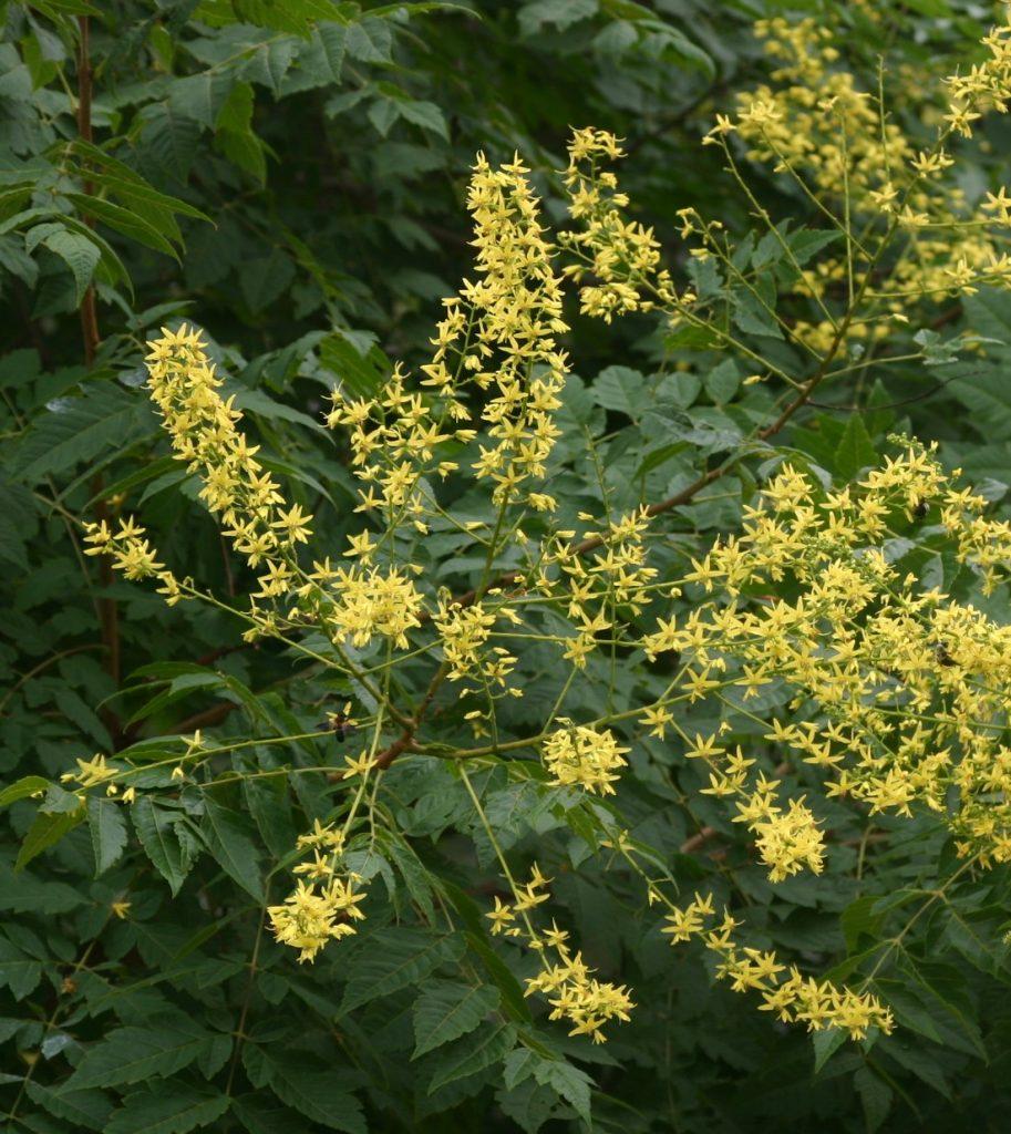 Rboles ornamentales para jardines peque os jabonero de - Arboles ornamentales para jardin ...