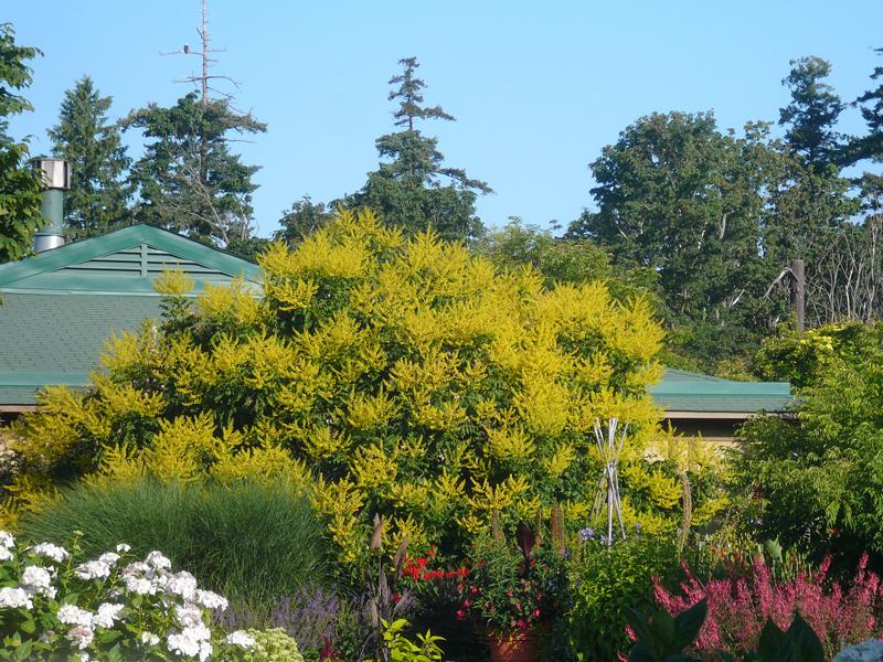 koelreuteria-paniculata2