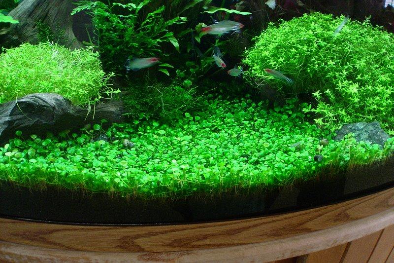 Plantas para estanques y acuarios: La Marsilea minuta
