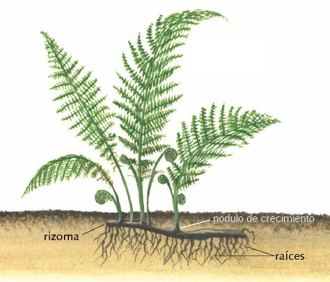 Helecho espada nephrolepis exaltata propagaci n a for Planta ornamental que se reproduzca por esquejes