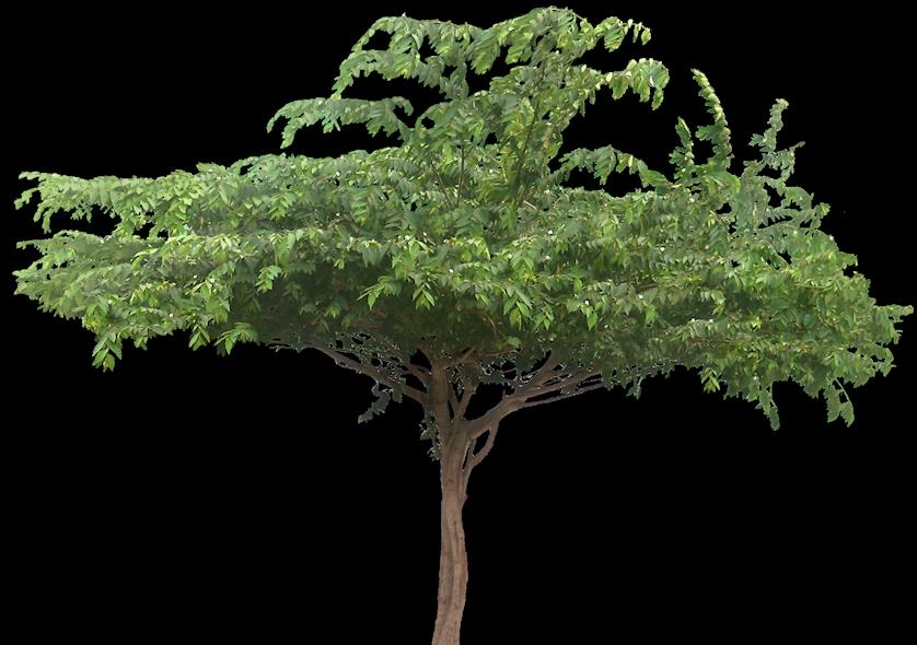 El Capulín (Muntingia Calabura): Cultivo, Riego Y