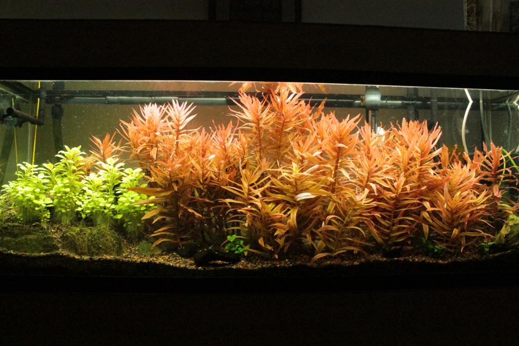Plantas acuáticas: La amania roja (Ammannia gracilis)