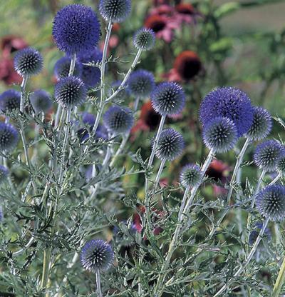 Cardo azul (Echinops ritro): Características y cultivo