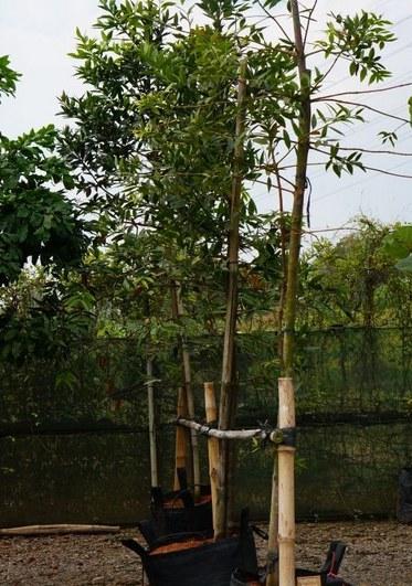 Árboles ornamentales: Características de la dámara (Agathis dammara)