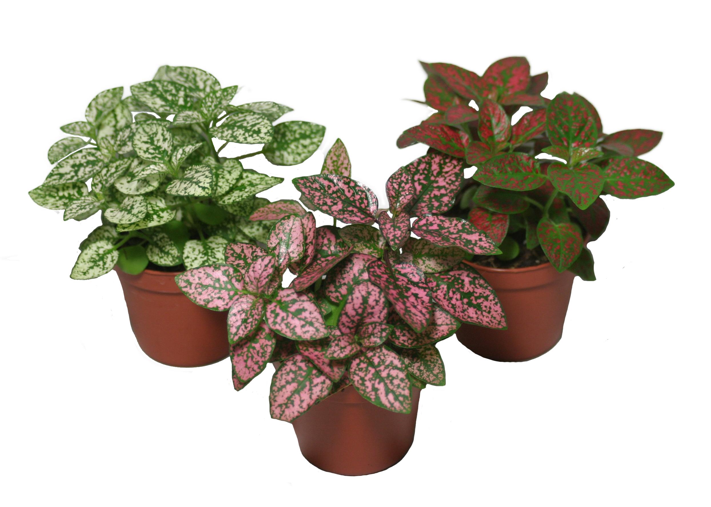 Plantas de interior: Hypoestes phyllostachya