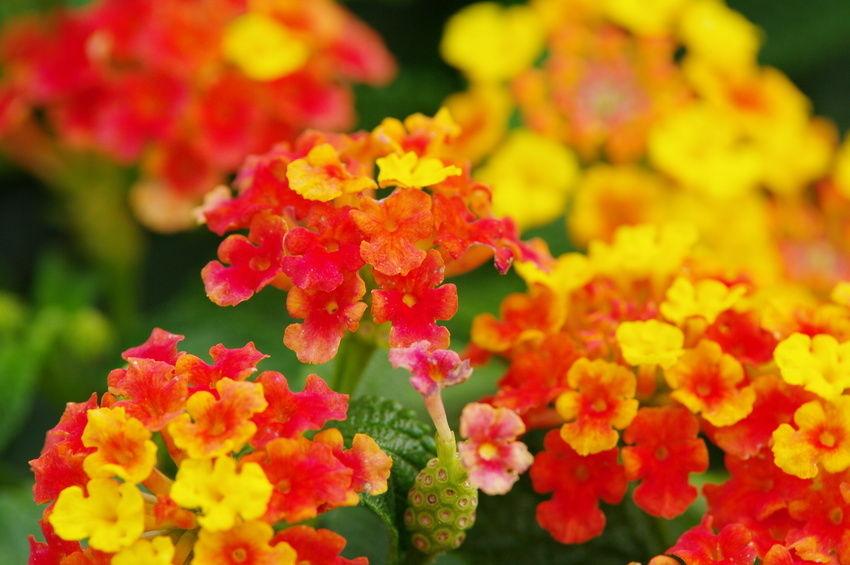 Plantas ornamentales la lantana lantana camara flores for 5 nombres de plantas ornamentales