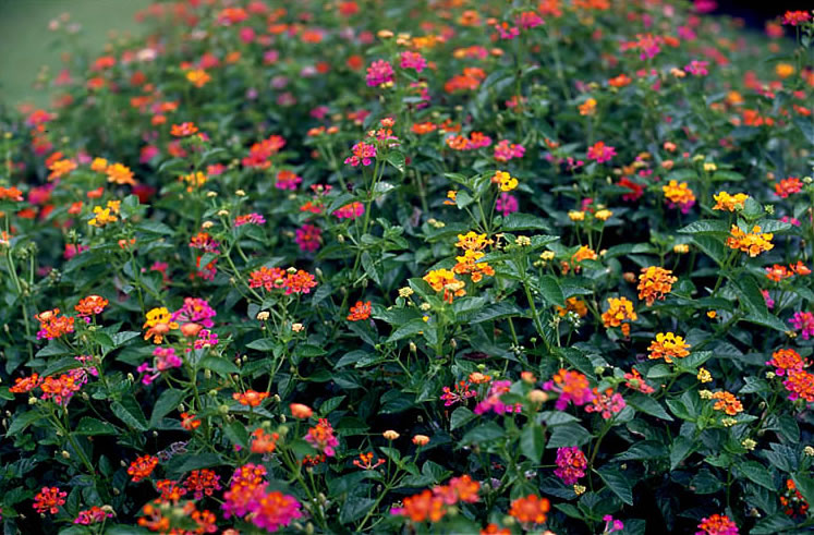 Plantas ornamentales: La lantana (Lantana camara)