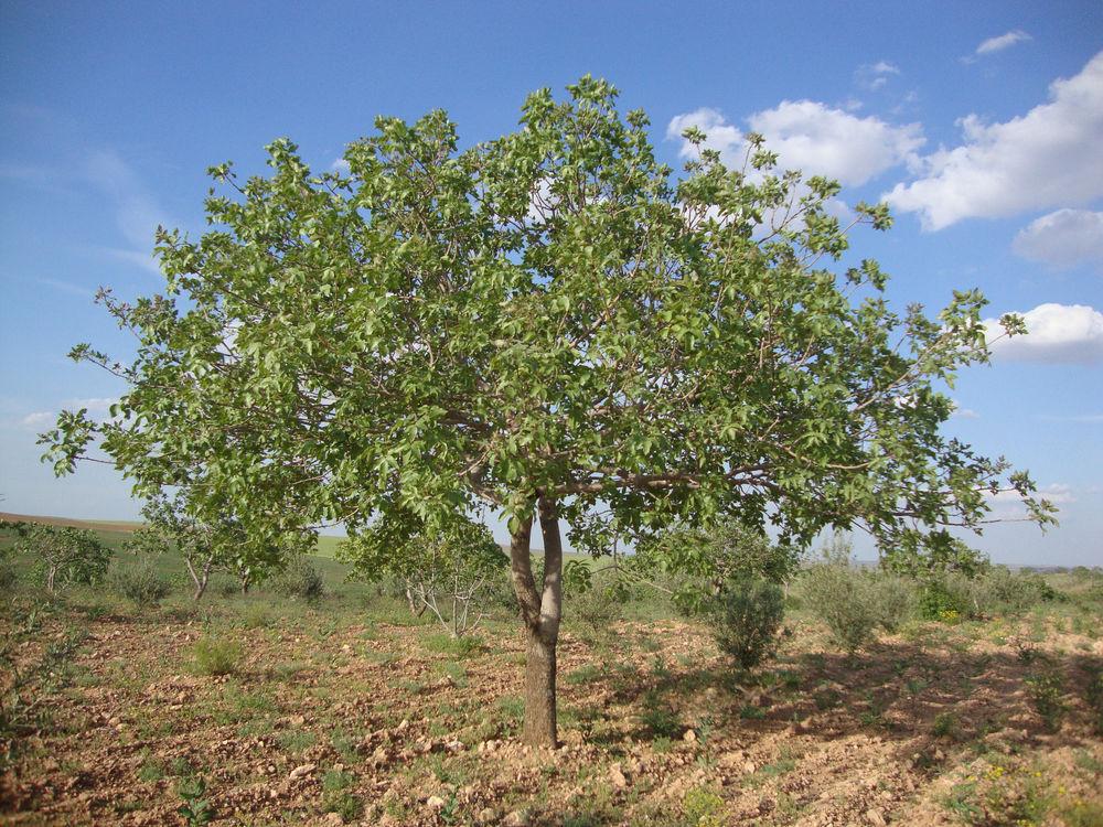 Pistachero (Pistacia vera): Cultivo, riego y cuidados