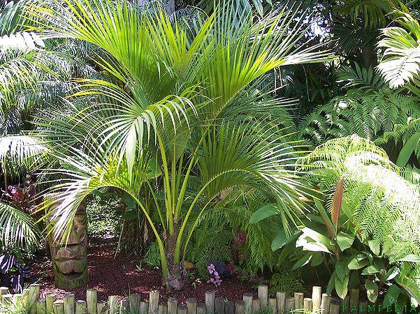 Plantas para grandes jardines o parques la palmera rizada for Plantas ornamentales para parques