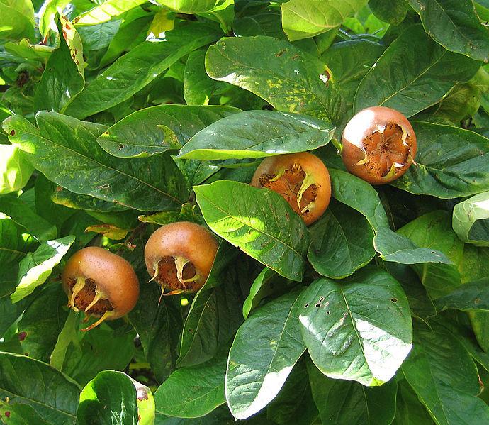 El níspero europeo (Mespilus germanica), un árbol frutal y ornamental