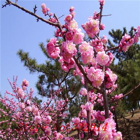 Árboles ornamentales: El albaricoque japonés (Prunus mume)