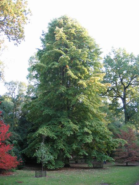 Árboles ornamentales: El Tilo (Tilia moltkei)