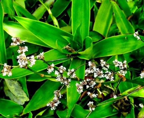 Plantas de interior c mo cultivar callisia fragrans en for Plantas de interior lidl