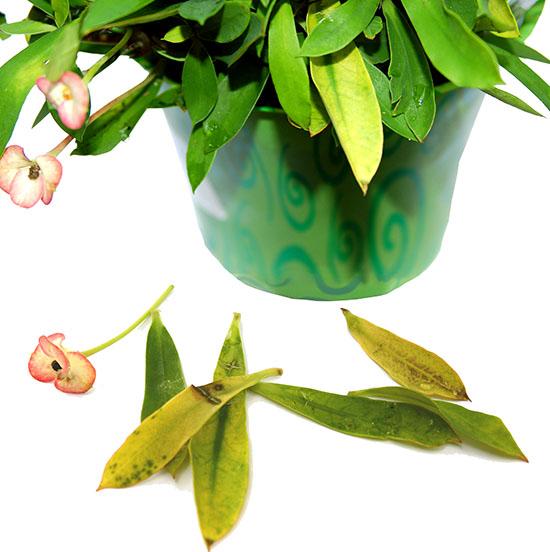 Por qué las plantas de interior pierden sus hojas