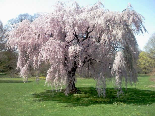 Árboles ornamentales: El cerezo de flor (Prunus subhirtella)