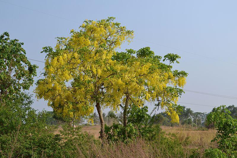 Casia purgante (Cassia fistula): Características, cultivo y multiplicación