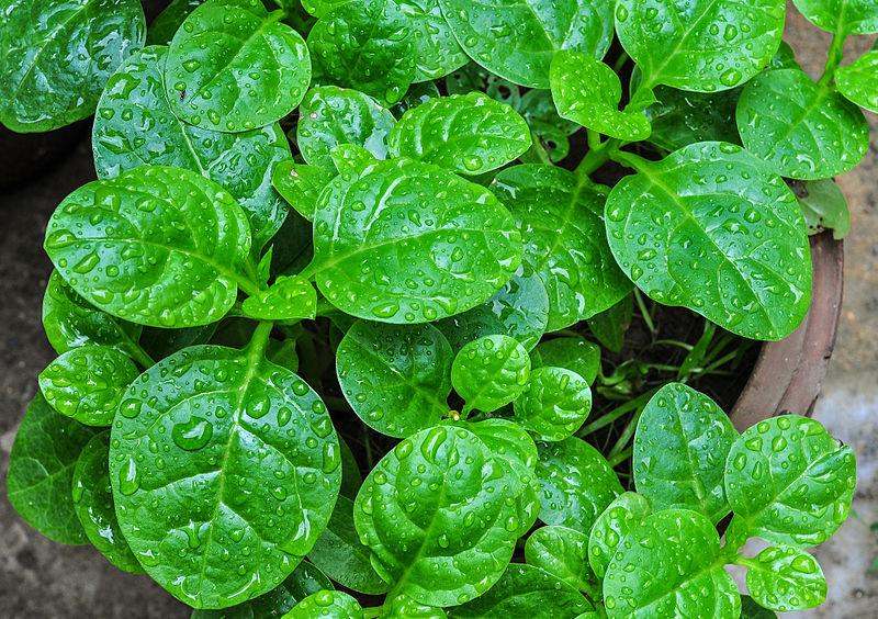 Espinaca china (Basella alba): Características y cultivo