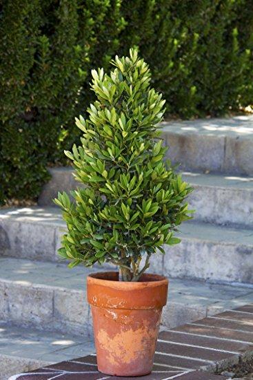 Cómo cultivar árboles de olivo en macetas