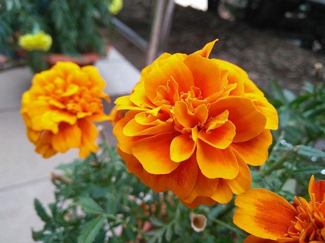 Damasquina (Tagetes patula): Cultivo, riego y cuidados