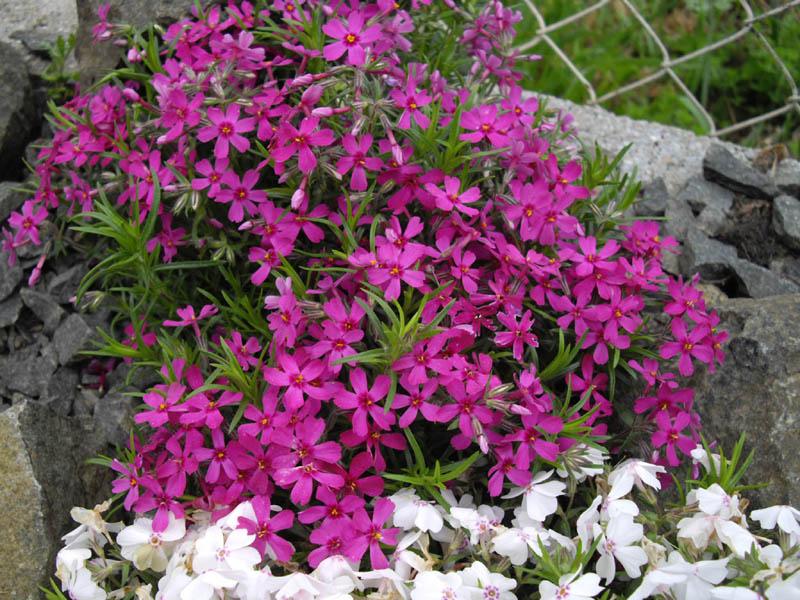 Phlox subulata: Características y cultivo