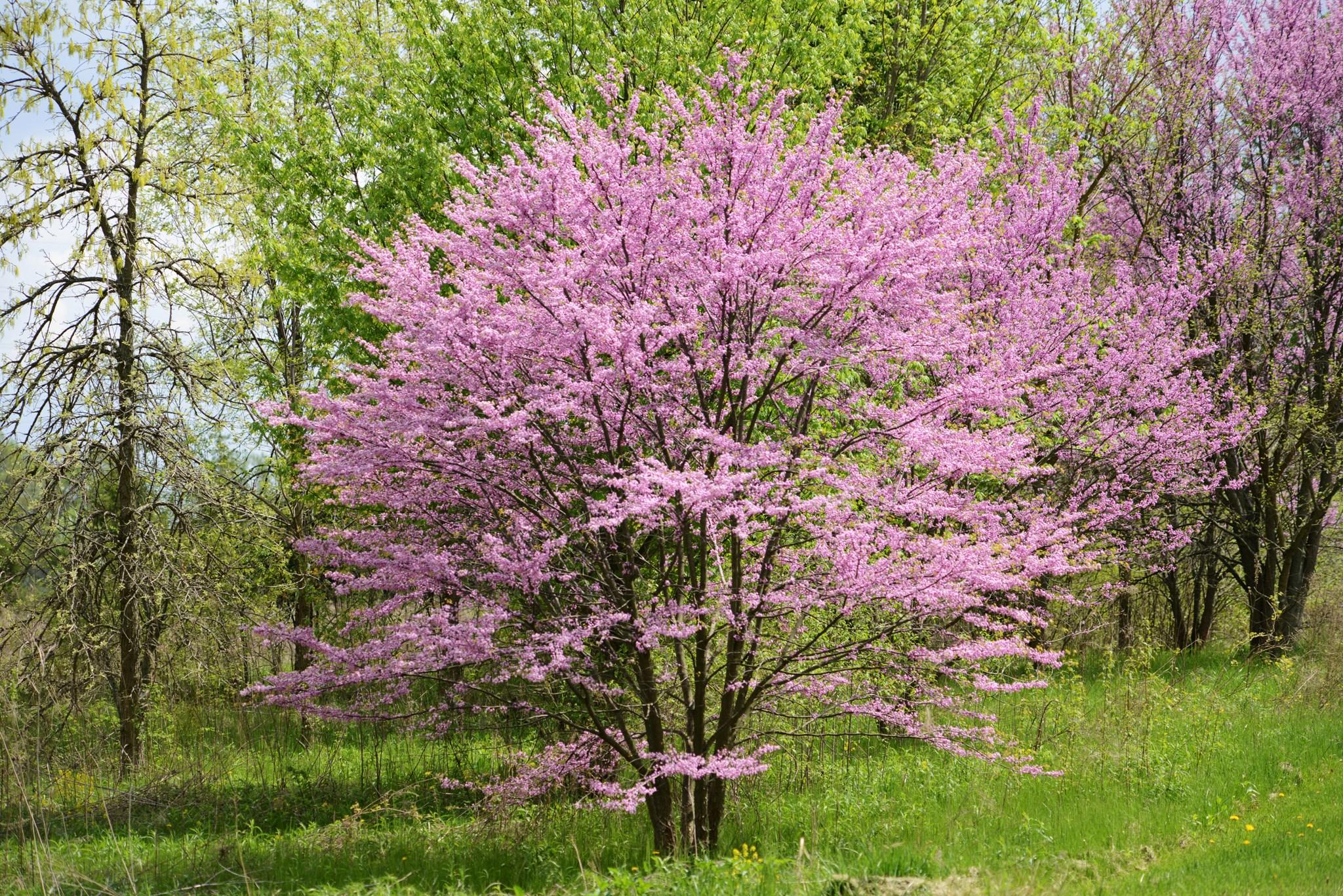 Árboles ornamentales: El Cercis canadensis