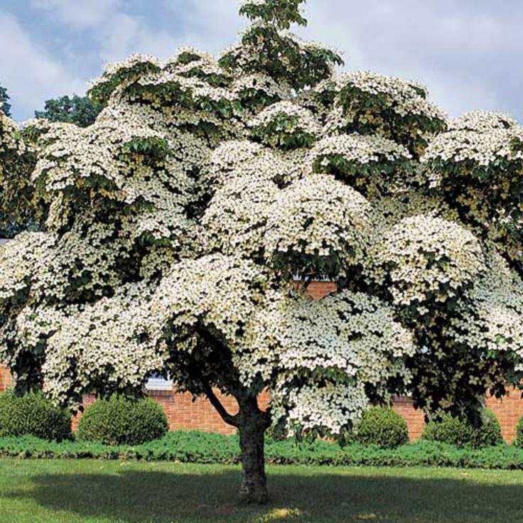Árboles ornamentales: Cornejo de Japón (Cornus Kousa)