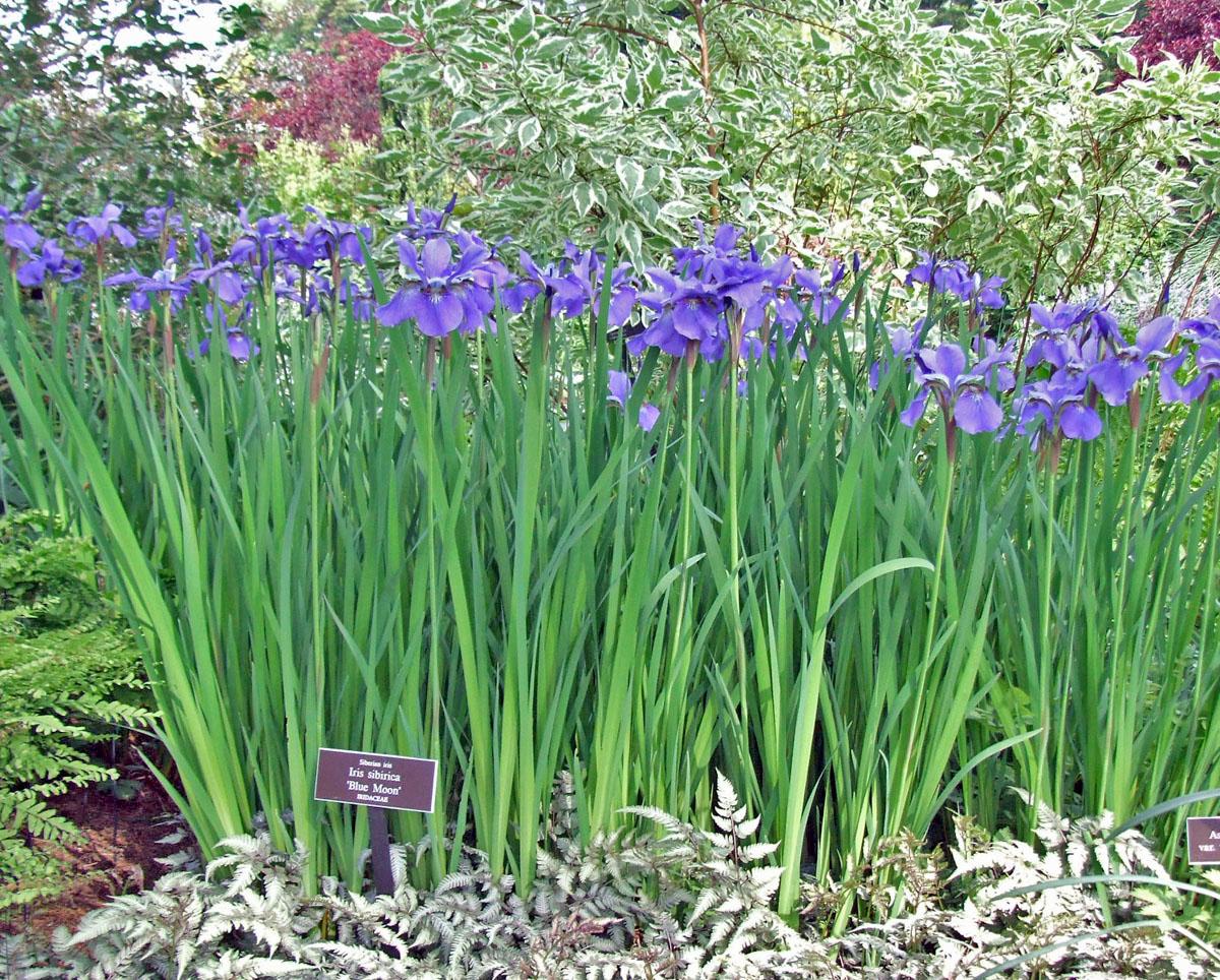 Lirio de Siberia (Iris sibirica): Características y cultivo