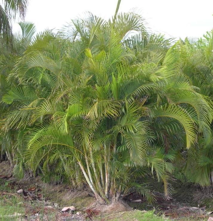 palmeras ornamentales la palma areca dypsis lutescens