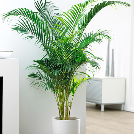 Palmeras ornamentales: La palma areca (Dypsis lutescens)