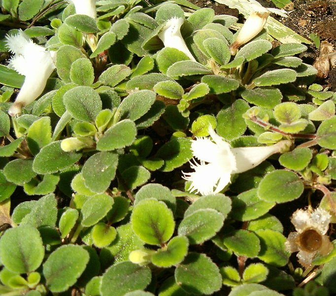 Alsobias: Cultivo, riego y cuidados